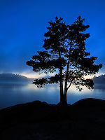 """White Pine Tree Silhouette""<br />