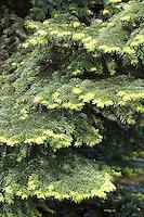 Nordmann-Tanne, Nordmanntanne, Nordmannstanne, Nordmanns-Tanne, Kaukasus-Tanne, Kaukasustanne, Nordmanns Tanne, Abies nordmanniana, Nordmann Fir, Caucasian Fir, Christmas Tree
