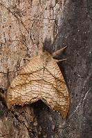 Birken-Sichelflügler, Birkensichelflügler, Echsen-Sichelflügler, Eidechsensichler, Falcaria lacertinaria, Drepana lacertinaria, Scalloped Hook-tip, La Lacertine, le Lézard, Sichelflügler, Drepanidae, hooktip moths