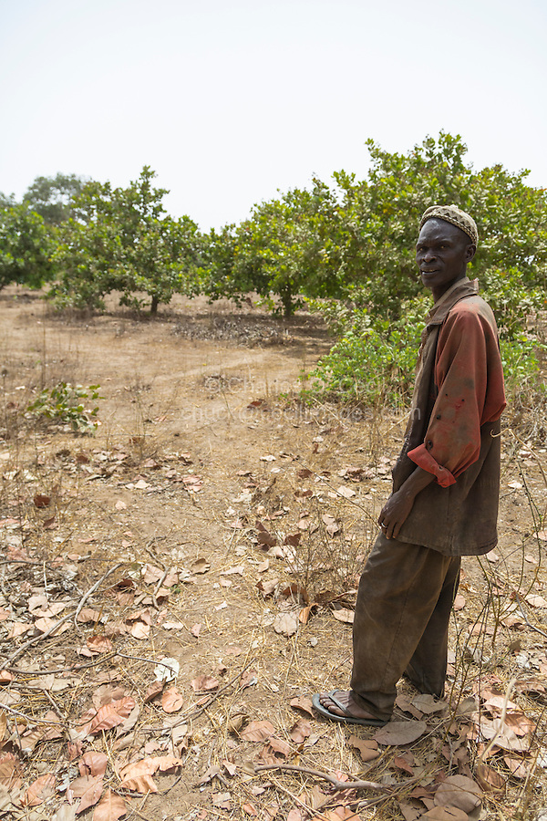 Cashew Nut Farmer in his Field.  Example of a Less Well-tended Cashew Tree Farm, with less pruning of lower limbs, less clearing of under brush.  Near Sokone, Senegal.   This makes it harder to pick up the cashew apples and nuts after they have fallen to the ground.