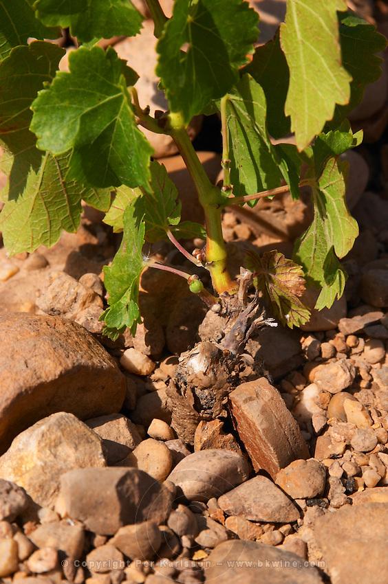 marselan recently planted vines vineyard mas du notaire rhone france
