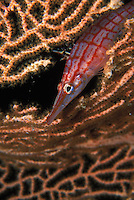 Longnose Hawk fish poking its head through a sea fan in the Solomon Islands.