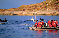 Killer whale, Orcinus orca, carousel feeding next to whale watching boat, jumping herring, Tysfjord, Arctic Norway, North Atlantic
