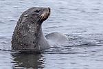 Antarctic Fur Seal, Decption Island, Antarctica