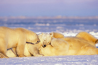 polar bear, Ursus maritimus, mother with subadult cubs playing on the pack ice, 1002 coastal plain of the Arctic National Wildlife Refuge, Alaska, polar bear, Ursus maritimus