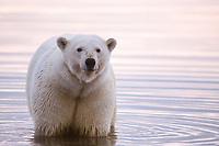 polar bear, Ursus maritimus, with radio collar, wading in water along the 1002 coastal plain of the Arctic National Wildlife Refuge, Alaska, polar bear, Ursus maritimus