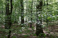 Buchenwald im Frühling, Frühjahr, Hochwald aus Rotbuche, Rot-Buche, Buche, Buchen, Fagus sylvatica, Common Beech, Europaen Beech, Fayard, Hêtre commun