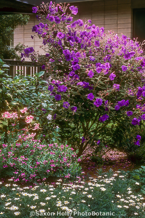 Tibouchina urvilleana (Princess Flower) flowering tree in garden
