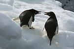 Adelie penguins on an iceberg on Brown Bluff on the Antarctic Peninsula.