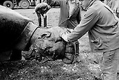 """Moscow, Russia<br /> Soviet Union<br /> August 30, 1991<br /> <br /> After Communist rule crumbled the statue of Soviet-era secret police chief Felix Dzerzhinsky, is taken from its site in front of the FSB security service headquarters in Lubyanka Square and placed in a backyard of the Moscow's Central House of Artists .<br /> <br /> The Union of Rightist Forces, known by its Russian initials of SPS, began collecting signatures to block the return of the monument, which had been removed from Lubyanka Square in August 1991 after Communist rule crumbled. <br /> <br /> In December 1991, food shortages in central Russia had prompted food rationing in the Moscow area for the first time since World War II. Amid steady collapse, Soviet President Gorbachev and his government continued to oppose rapid market reforms like Yavlinsky's """"500 Days"""" program. To break Gorbachev's opposition, Yeltsin decided to disband the USSR in accordance with the Treaty of the Union of 1922 and thereby remove Gorbachev and the Soviet government from power. The step was also enthusiastically supported by the governments of Ukraine and Belarus, which were parties of the Treaty of 1922 along with Russia.<br /> <br /> On December 21, 1991, representatives of all member republics except Georgia signed the Alma-Ata Protocol, in which they confirmed the dissolution of the Union. That same day, all former-Soviet republics agreed to join the CIS, with the exception of the three Baltic States."""