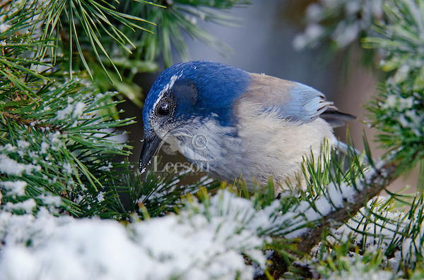 Western Scrub-Jay (Aphelocoma californica).  Pacific Northwest.  Winter.