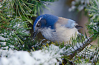 Western Scrub-Jay (Aphelocoma californica).  Pacific Northwest.  Winter.