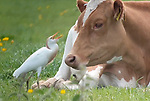 Egret eats flies from cows by Richard Ford