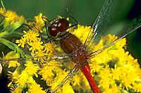 1O06-023a  Skimmer Dragonfly - Ruby Meadowhawk Male - Sympetrum rubicundulum.