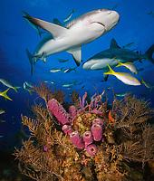 Caribbean Reef Sharks, Carcharhinus perezii, and yellowtail sanppers, Ocyurus chrysurus, over soft coral and hydroids, Bahamas, Caribbean, Atlantic