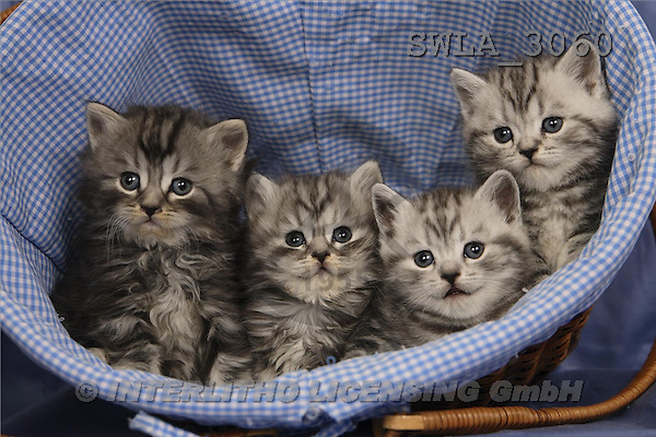 Carl, ANIMALS, photos, 4 grey kitten(SWLA3060,#A#) Katzen, gatos