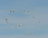 Snow Geese approach a landing spot at Bosque del Apache NWR.  Turning, some fly upside down.