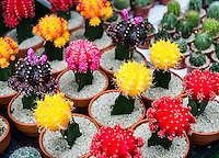 Colorful cacti selection at a garden center