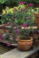 Heliotrope growing and flowering in terracotta pot container on wall next to water garden, fragrant scented plant