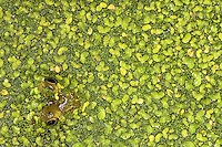 Bullfrog hiding in a pond camoflouged in duck weed