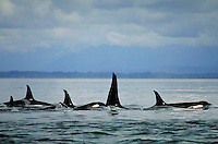 A pod of six killer whales cruises the ocean waters surrounding the Tongass National Forest in Southeast Alaska. Alaska, Southeast Alaska.