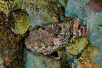"0109-08mm  Spotted Scorpionfish ""Venomous Spines on Fish"" - Scorpaena plumieri  © David Kuhn/Dwight Kuhn Photography"