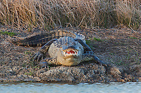 American Alligator (Alligator mississipiensis), mouth open, Sinton, Corpus Christi, Coastal Bend, Texas, USA