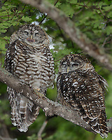 Spotted Owls, Southeastern Arizona