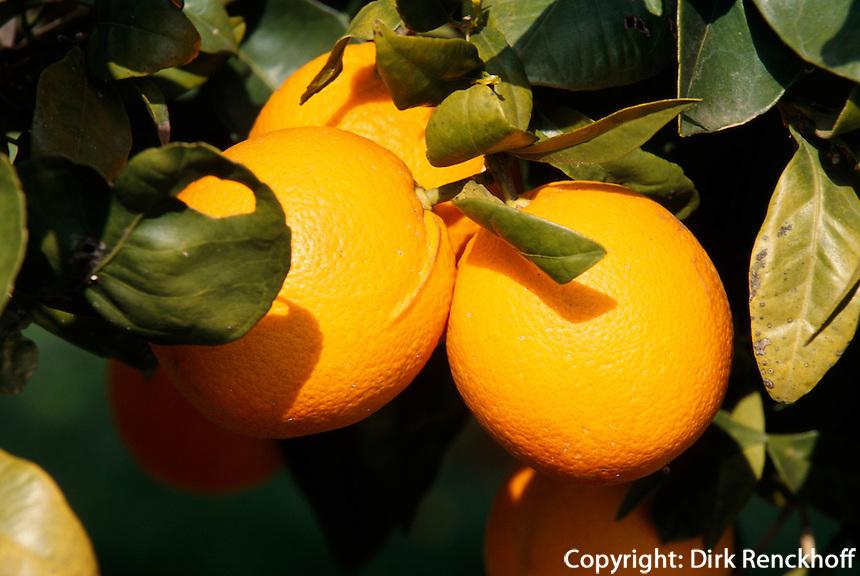 Spanien, Balearen, Apfelsinenbaum auf Ibiza