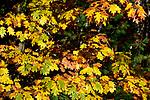 Oak leaves in fall.