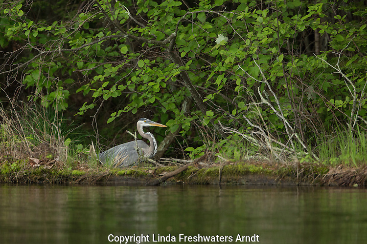 Great blue heron on the Chippewa Flowage in northern Wisconsin