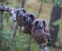 Three Boreal Owl juveniles rest on a branch shortly after leaving the nest.   Many cavity-nesting species, like these recently banded Boreal Owls, leave the nest at about four weeks of age.(Alaska)