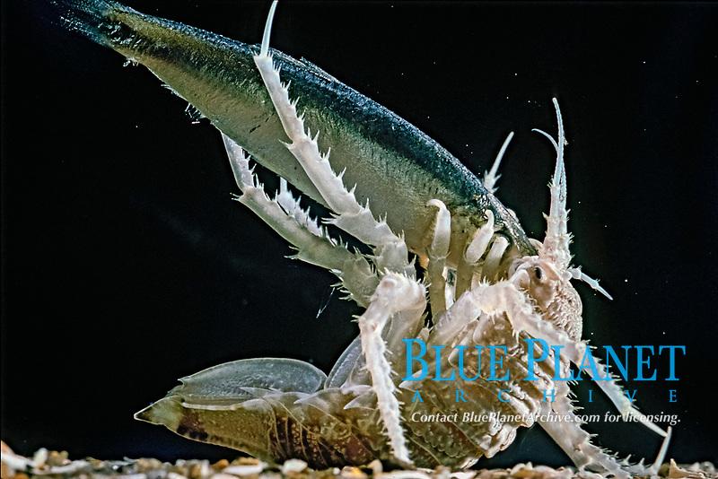 isopod, Gnathiphimedia antarcturus, with fish, Antarctica, Alfred Wegner Laboratory, Bremerhaven