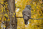 A great gray owl perches on a cottonwood tree dressed in its fall colors in Jackson Hole, Wyoming.