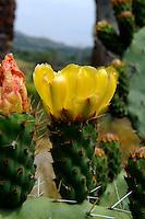 blühende Opuntie, Sizilien, Italien