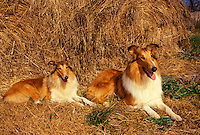 Two adult Collie dogs by large pile of straw Missouri USA
