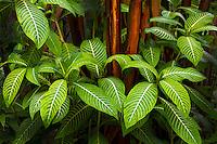 Unidentified tropical leaves. Hawaii, The Big Island.