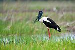 Black-necked stork, Kakadu National Park, Australia