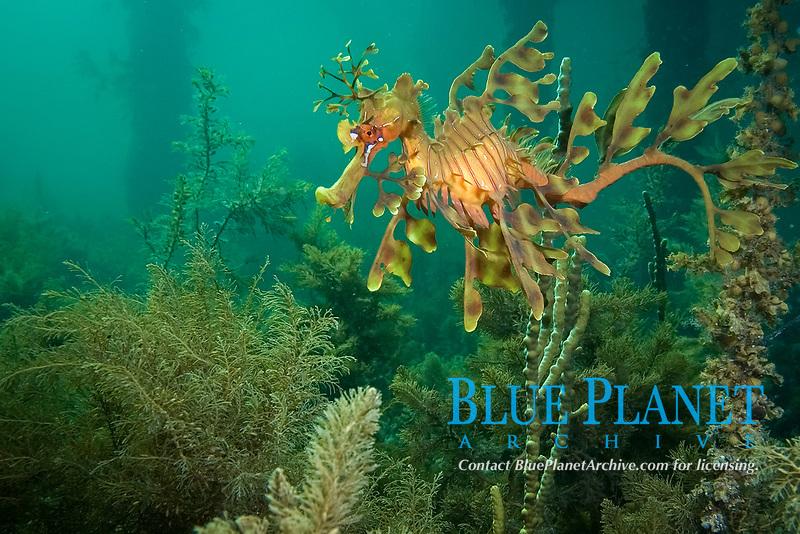 leafy Seadragon, Phycodurus eques, a leafy seadragon under a jetty or pier in South Australia , nestled amongst algae, Wool Bay South Australia, Australia, Southern Ocean