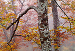 Maple trees, Yakushima, Japan