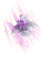 Full spectrum iris blossom