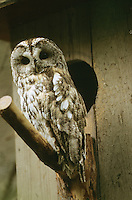 Waldkauz, am Nistkasten, Eulenkasten, Strix aluco, Wald-Kauz, Kauz, Käuzchen, tawny owl
