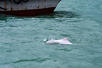Chinese white dolphin or Indo-Pacific Ocean humpback dolphin, Sousa chinensis, adult animal avoiding a fast moving boat, Hong Kong, Pearl River Delta