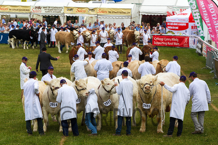 Showing beef cattle at the Royal Welsh Show 2013<br /> Picture Tim Scrivener 07850 303986