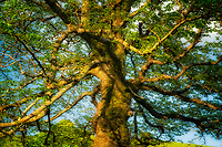 English Elder tree. Near Clifden. County Galway, Connemara. ireland