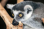 ring-tailed lemure close-up of face