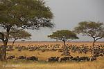 A perte de vue, une armada de gnous avance tête baissée dans les plaines de Musabi. On entend le bruit des sabots, une plainte sourde entrecoupée de vagissements plus aigus.. Musabi Plains. Serengeti. Tanzanie..Each year around the same time the 'Great Wildebeest Migration'  begins in the Ngorongoro area of the southern Serengeti of Tanzania. A natural phenomenon determined by the availability of grazing..