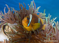 0320-1116  Clark's anemonefish (Yellowtail clownfish), Amphiprion clarkii, with Bulb-tipped Anemone, Entacmaea quadricolor  © David Kuhn/Dwight Kuhn Photography.