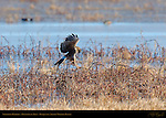 Northern Harrier Pouncing on Prey, Bosque del Apache Wildlife Refuge, New Mexico