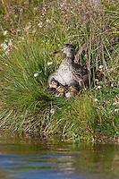 Krickente, Krick-Ente, Weibchen hudert am Ufer ihre Küken, Jungvogel, Anas crecca, green-winged teal